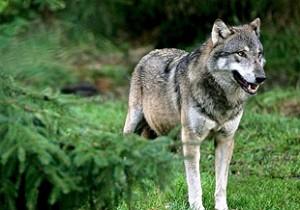 Ayudas ganaderos gallegos victimas lobo galicia